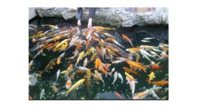 Koi and Pond Fish Food